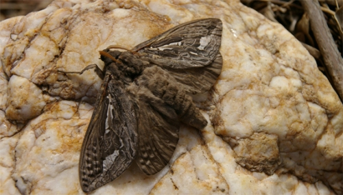 Adult Swift Moth (Newstead, April 2009)