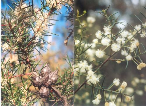 Hakea decurrens & Acacia genistifolia
