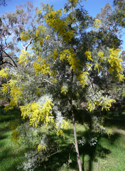 Silver Wattle in flower - Rotunda Park, Newstead, 8th August 2009