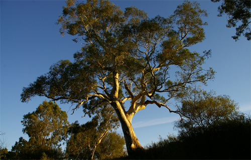 Towering Red Gum - Loddon River @ Newstea