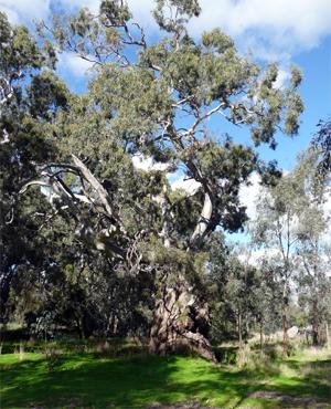 Big tree on the Loddon