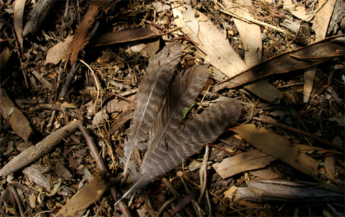 Owlet Nightjar tail feathers