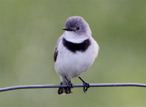 White chat