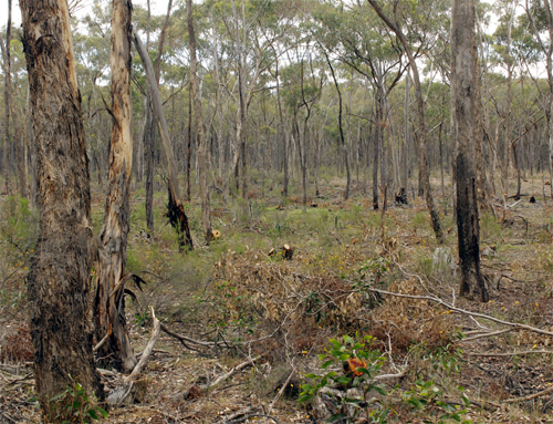 The habitat at the site, showing the recently thinned firewood zone.