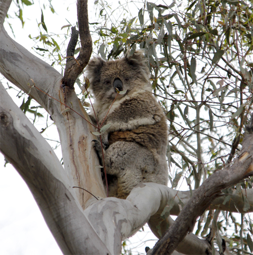 Koala, Dunns Reef Track Muckleford State Forest, 1st December 2012