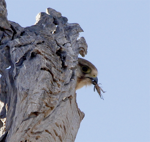 One of the parents perched above the hollow with a grasshopper.