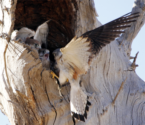 The male arriving at the nest.