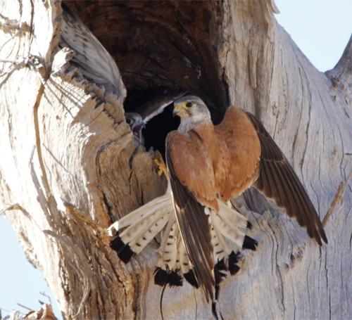 Male Australian Kestrel about to depart the nest hollow.