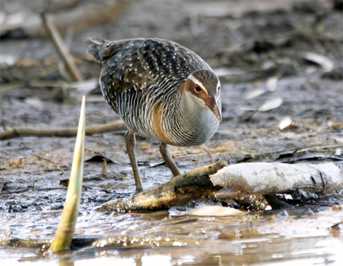 Buff-banded Rails feed on crustaceans, molluscs, worms, insects and some plant material.