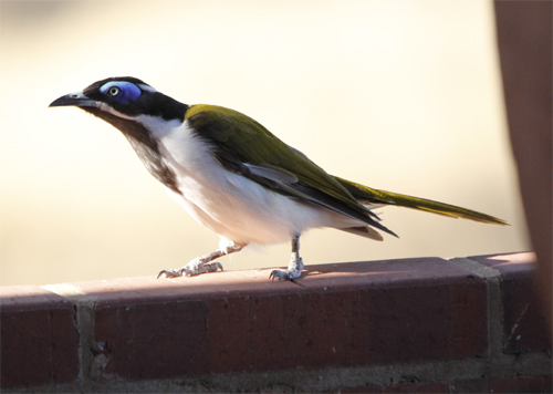 Blue-faced Honeyeaters can be very confiding.