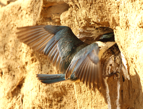 Sacred Kingfisher arriving at the nest tunnel, Loddon River @ Newstead, 21st January 2013.