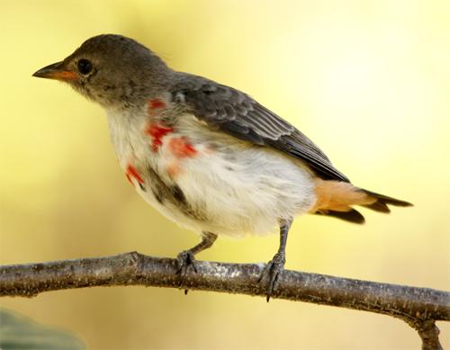 An immature Mistletoebird Babbler's Rest.