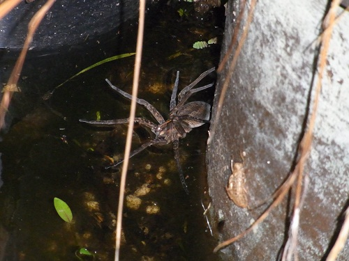 Large spider out 'fishing' for prey