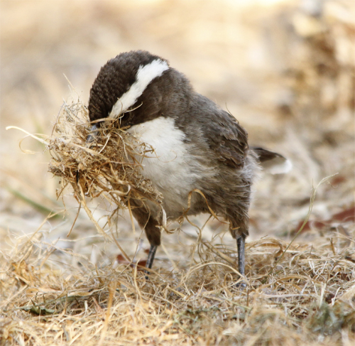 The ever industrious White-browed Babbler.