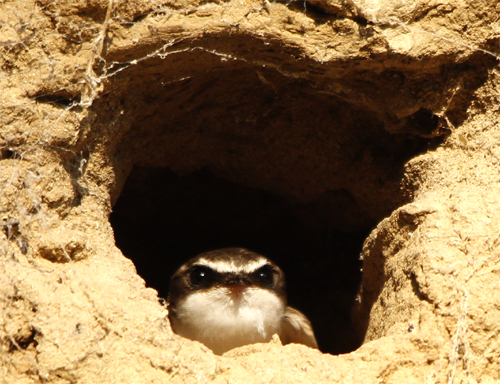 White-backed Swallow about to leave the nest tunnel, Loddon River @ Newstead, 21st January 2013.