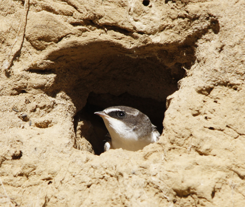 White-backed Swallow about to depart the tunnel, Loddon River @ Newstead, 3rd February 2013.