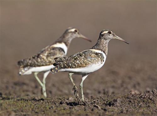 Australian Painted Snipe, Moolort Plains, 25th August 2011. Photograph by Chris Tzaros.