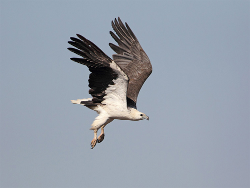 White-bellied Sea-Eagle, Cairn Curran Reservoir, 23rd October 2011. Photograph by Chris Tzaros.