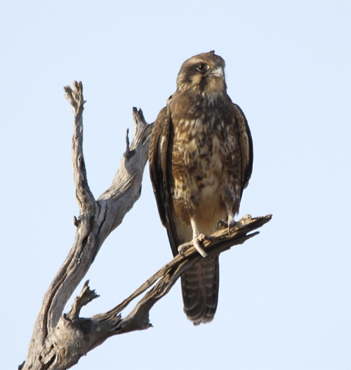 This Brown Falcon was keeping an eye out  for rodents disturbed by the burning stubble.