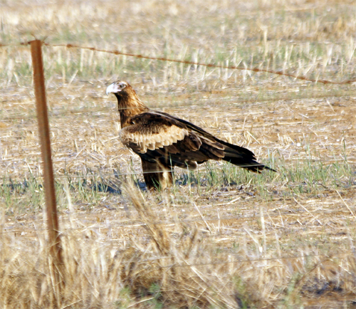 Wedge-tailed Eagles are not often seen on the ground. The golden-brown 'shawl' on the head and neck indicate a juvenile bird.