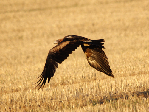 After taking flight the young eagle skirted the perimeter of the burn in seach of prey