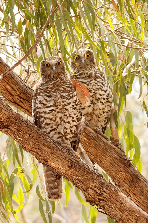 Powerful-Owls