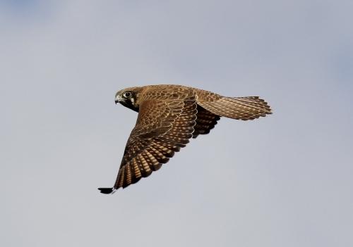 Brown Falcon, Moolort Plains, 23rd June 2013.