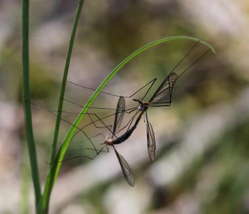 Crane-flies