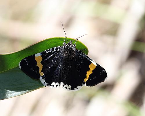 Day-flying-moth