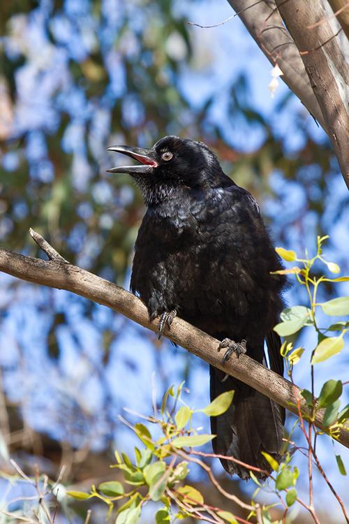 Little-Raven-juv_13-11-04_1