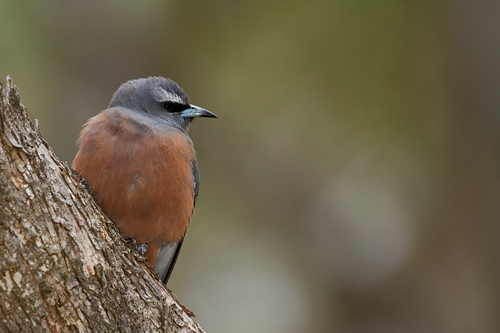 White-browed-Woodswallow_13