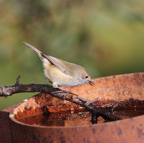 BrownThornbill