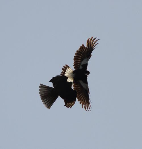 Sparrowhawk2