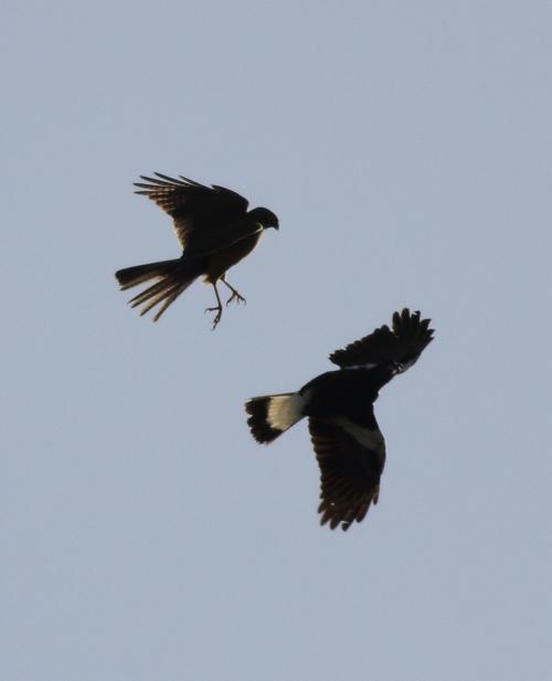 Sparrowhawk3