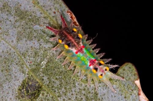 Cup-moth-larva-stack