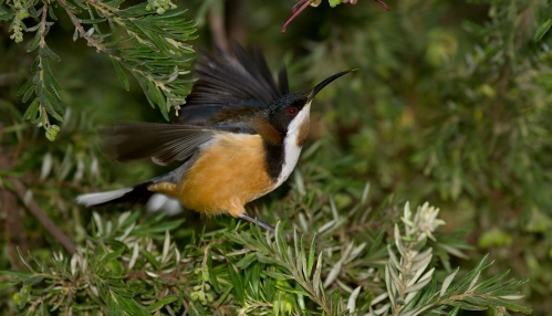 Eastern-Spinebill_14-07-18_3-crop