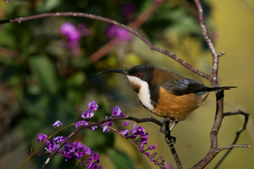 Eastern-Spinebill_14-07-20_13-crop
