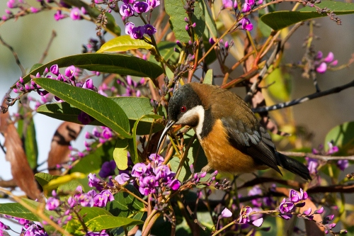 Eastern-Spinebill_14-07-20_8-crop
