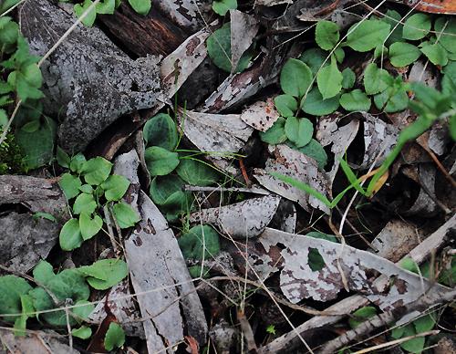 Greenhoodleaves