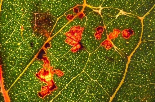 Long-leafed-Box-leaf-backlit-1