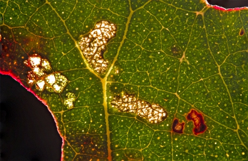 Long-leafed-Box-leaf-backlit-5