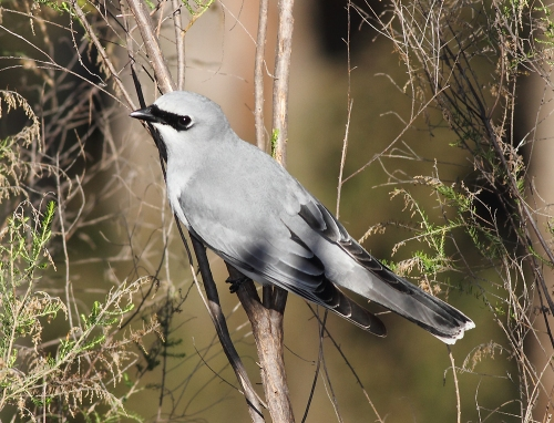 White-bellied-Cuckoo-shrike