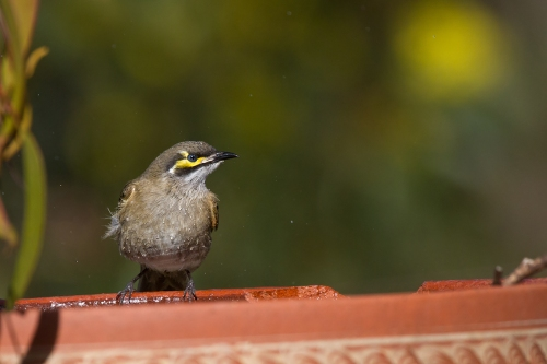 Yellow-faced-Honeyeater_14-07-20_5