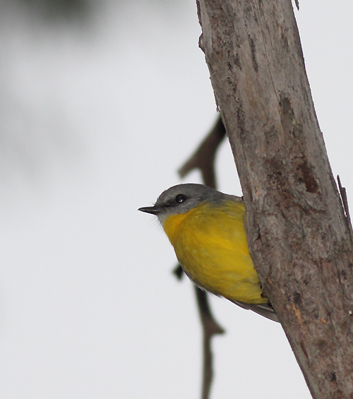 YellowRobin