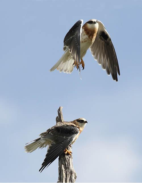 Black-shouldered Kites - take II.