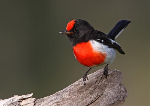 Red-capped Robin - Chris Tzaros