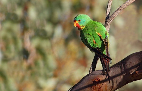Swift Parrot, Mia Mia Track Muckleford State Forest. Image by Chris Tzaros.