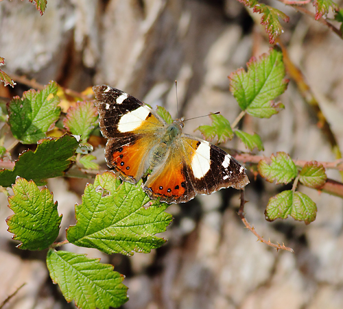 Yellow-Admiral