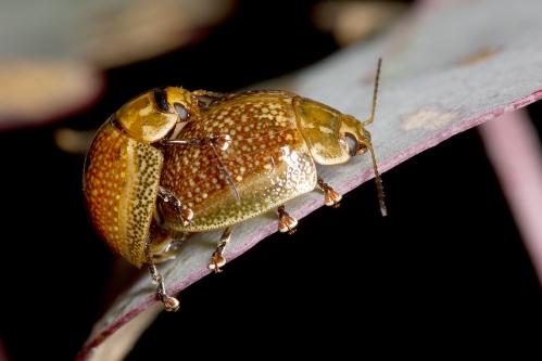 beetles mating 2_14-09-27_2 crop
