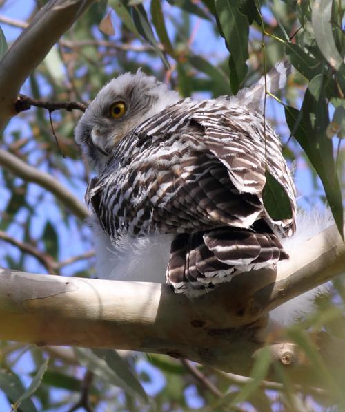 Powl1